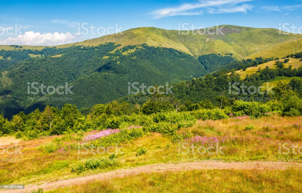 meadow with purple flowers in Carpathian mountains in summer stock photo