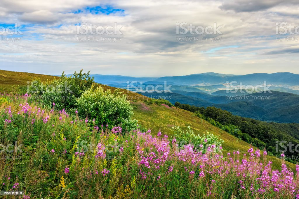 meadow with purple flowers in mountains stock photo