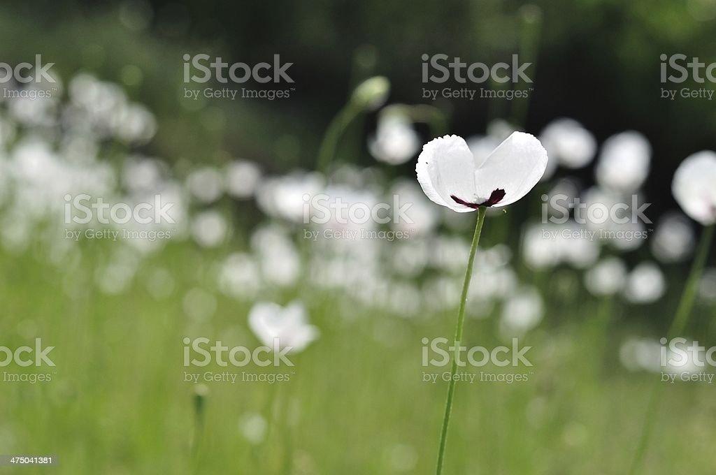Łąka z białe kwiaty na wiosnę zbiór zdjęć royalty-free
