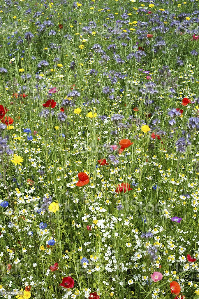 Meadow with wild flowers royalty-free stock photo