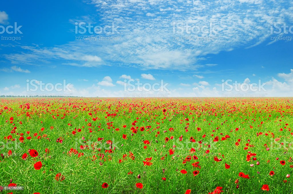 meadow with wild poppies and blue sky stock photo