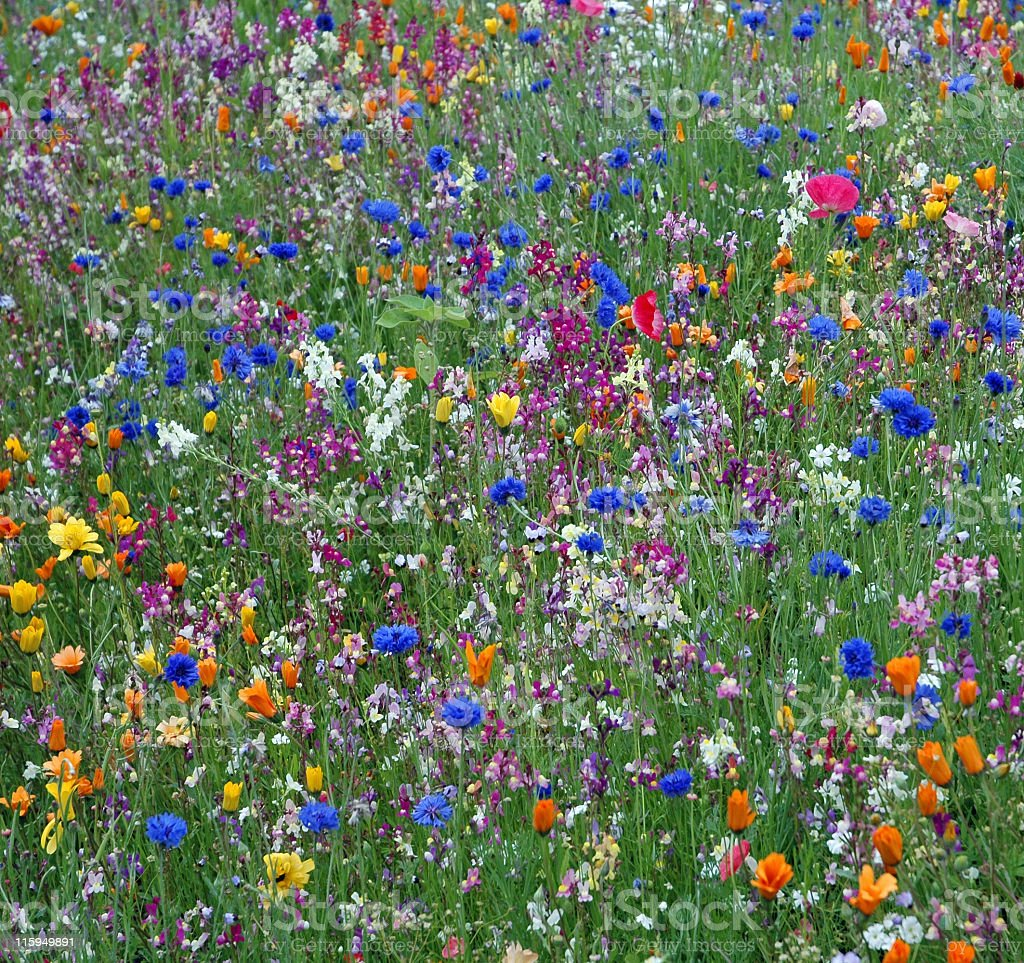 Meadow with wildflowers. royalty-free stock photo