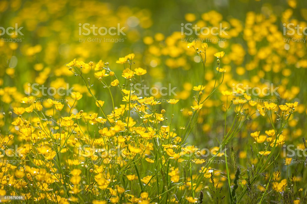 Meadow with yellow buttercups stock photo