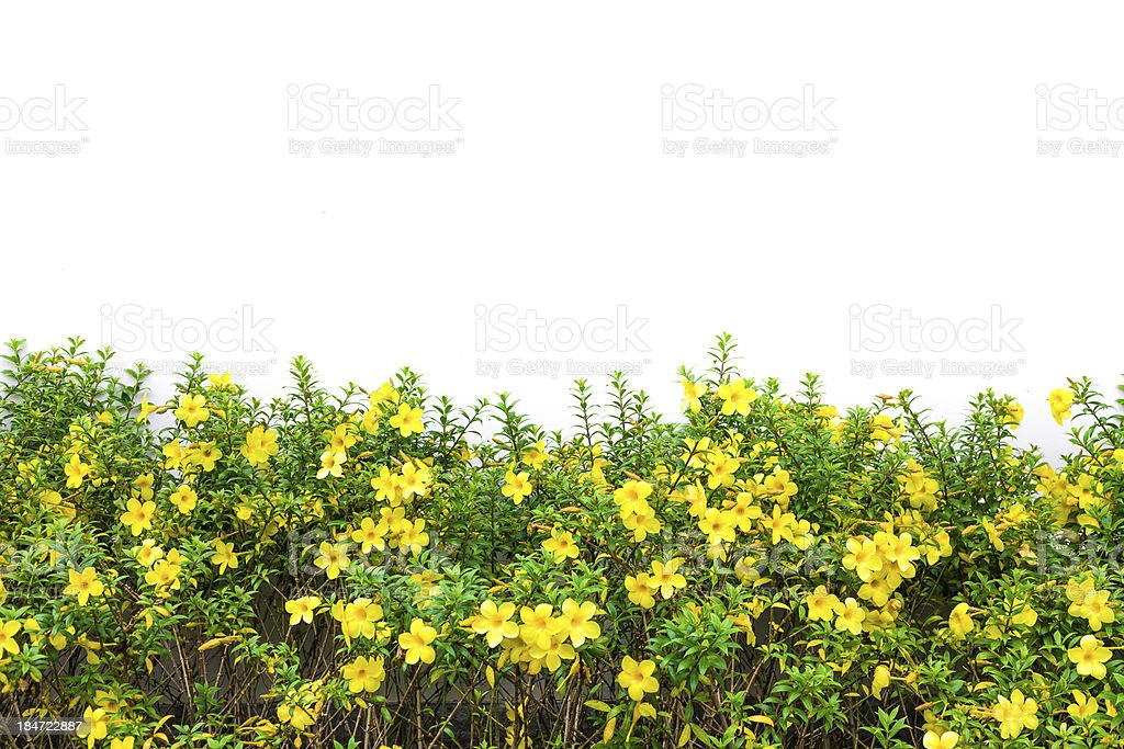 Meadow yellow flower royalty-free stock photo