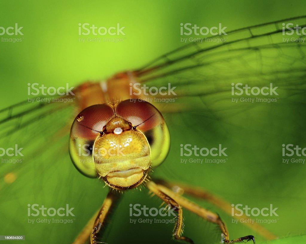 Meadowhawk Dragonfly royalty-free stock photo