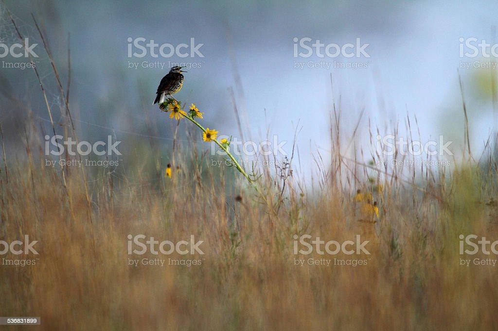 Meadowlark on prairie stock photo