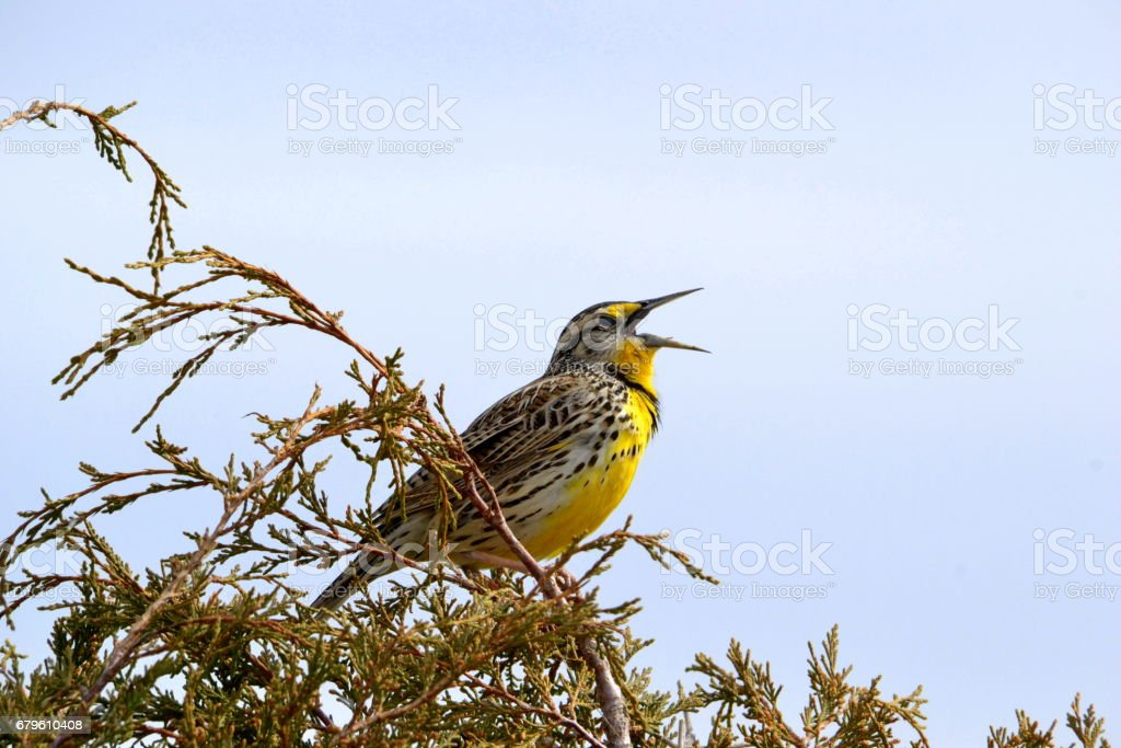 Meadowlark singing in a new day stock photo