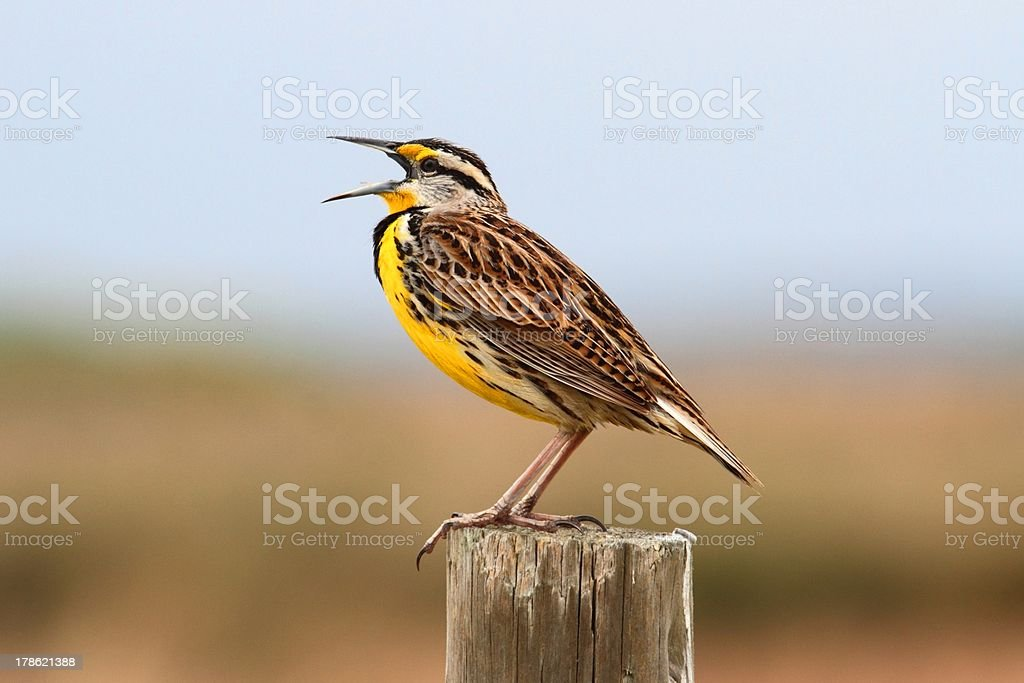 Meadowlark squawking while standing on a pole stock photo