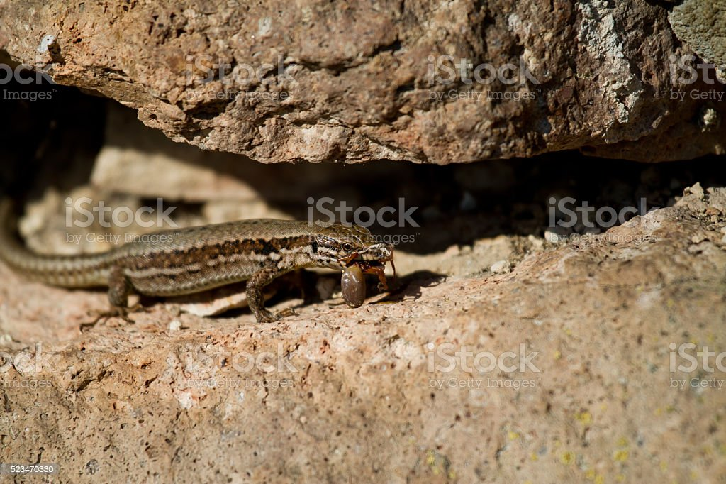 Meal of a Lizard stock photo