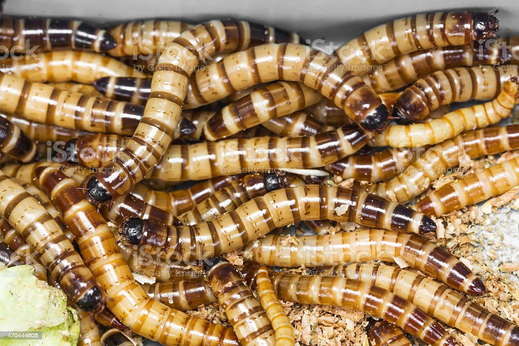 Meal worms stock photo