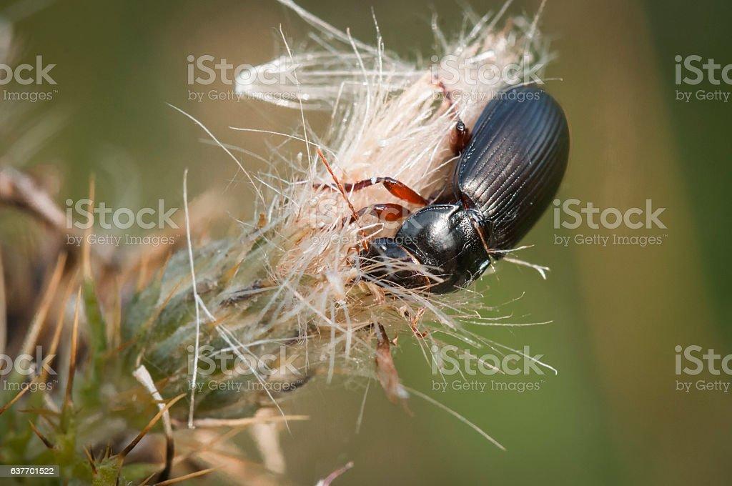 Mealworm Beetle stock photo