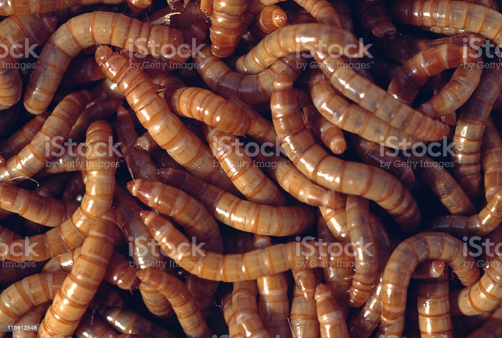 mealworms, Tenebrio molitor royalty-free stock photo