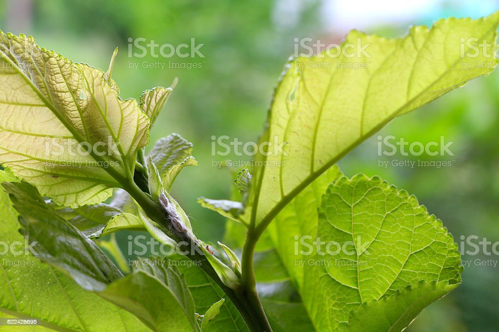 mealybug eating sap from young tree stock photo