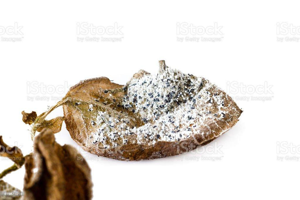 mealybug on a leaf stock photo