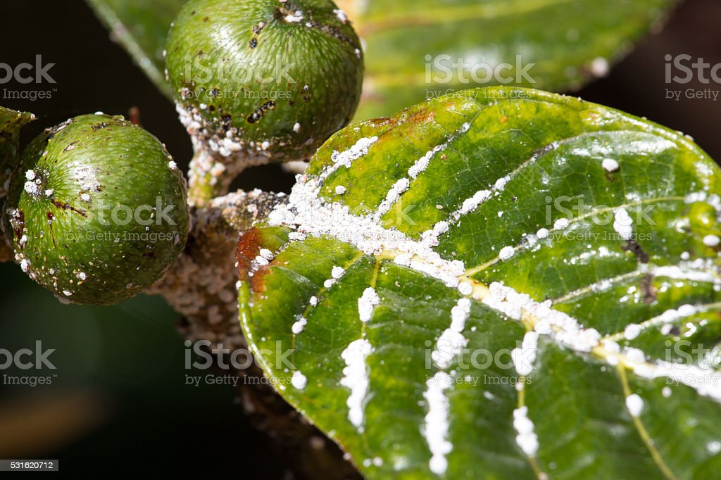 Mealybug on leaf figs. Plant aphid insect infestation stock photo