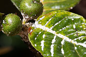 Mealybug on leaf figs. Plant aphid insect infestation
