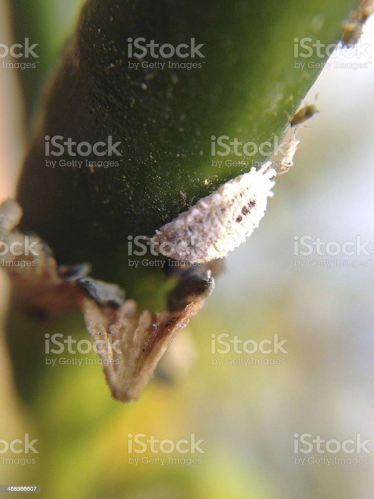 Mealybug stock photo