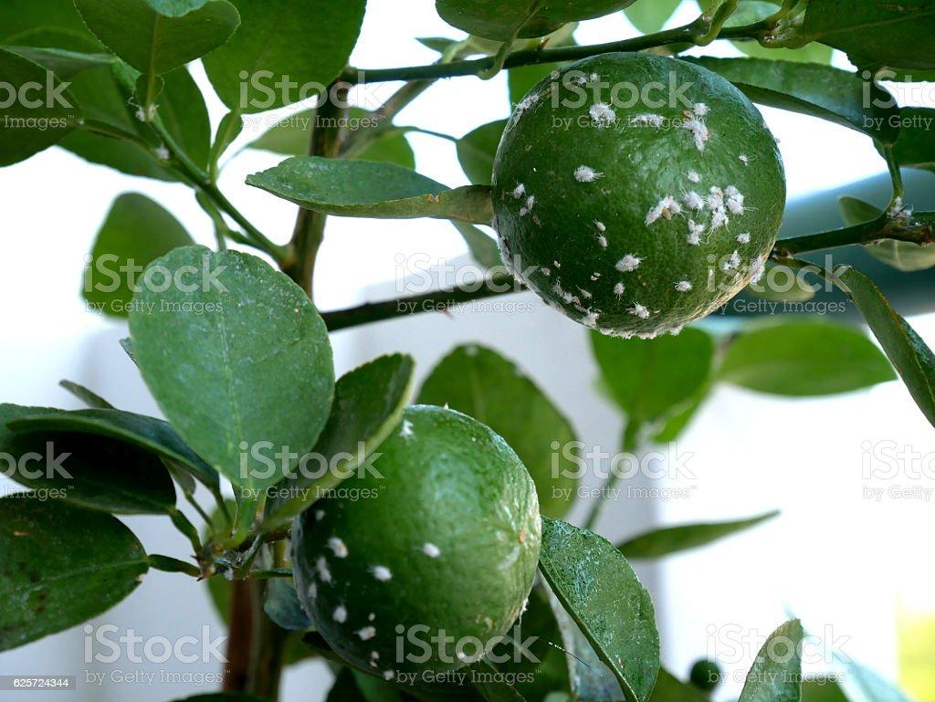 mealybug , Pseudococcidae stock photo
