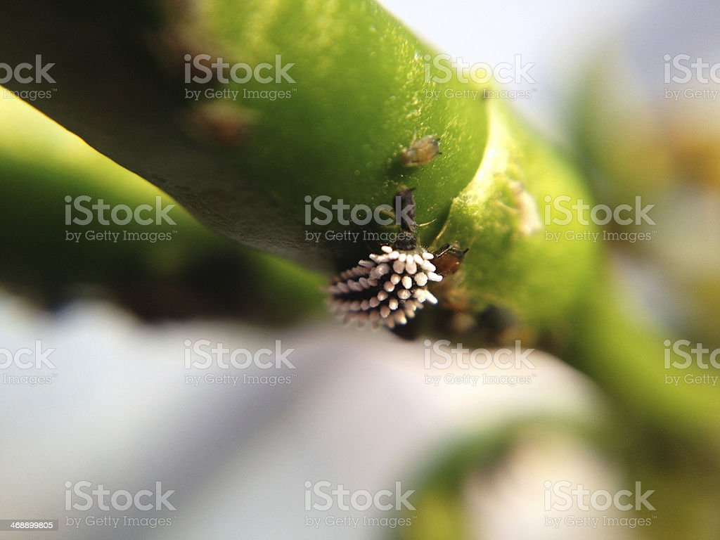 Mealybug, white fly and other Pest Attack stock photo