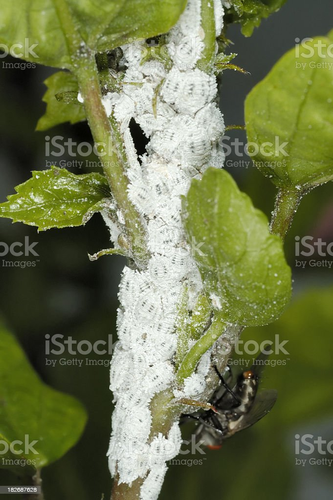 Mealybugs stock photo