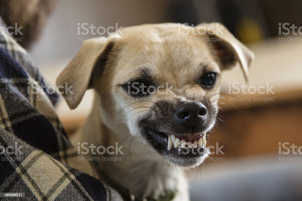Mean Dog stock photo