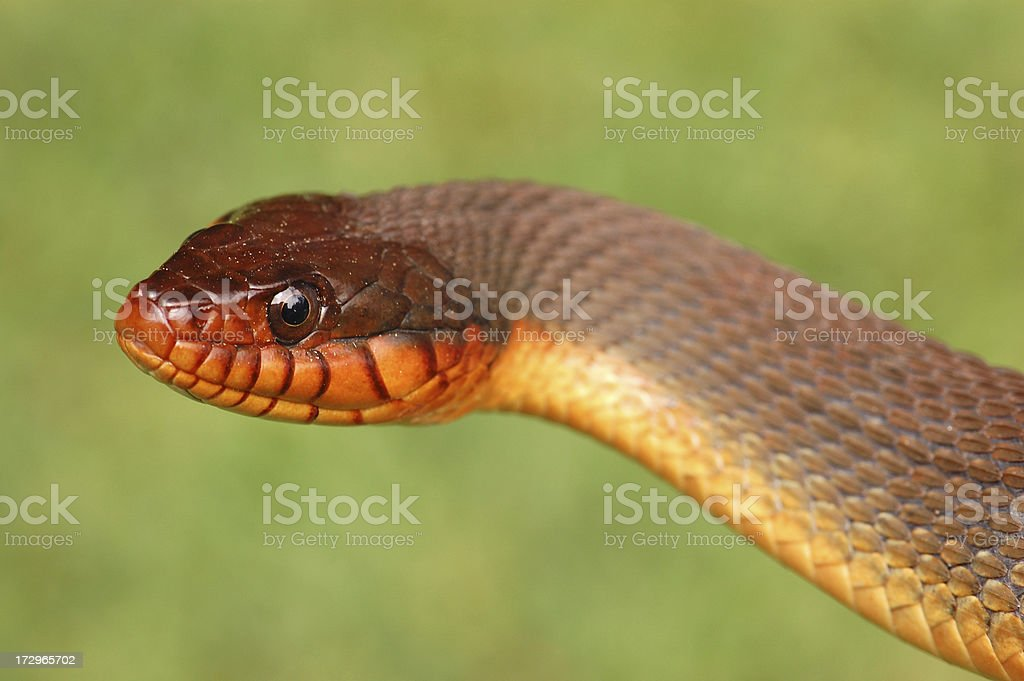Mean Looking Red Bellied Water Snake Portrait stock photo