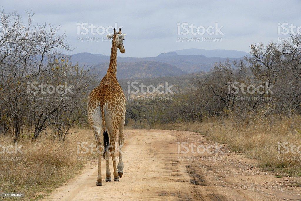 Meandering Giraffe Walking Down An UnPaved Road royalty-free stock photo