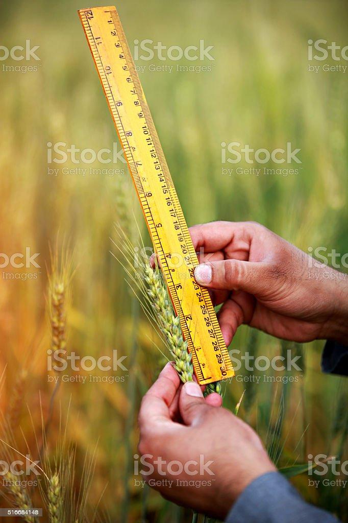 Measuring Ear Of Wheat stock photo