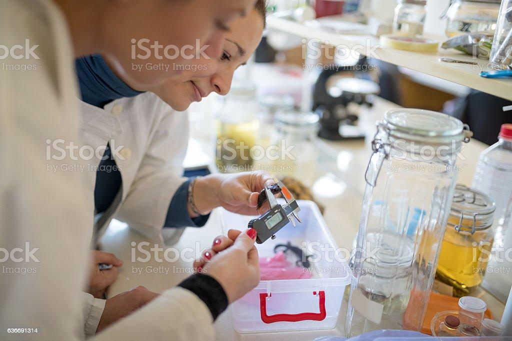 Measuring newt specimen stock photo