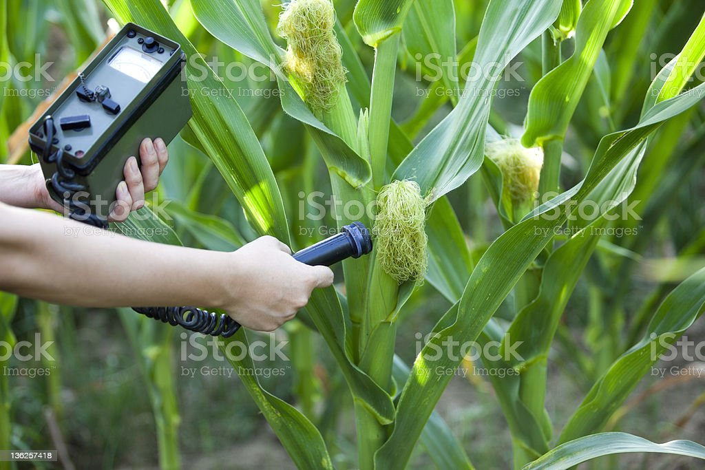 Measuring radiation levels of corn royalty-free stock photo