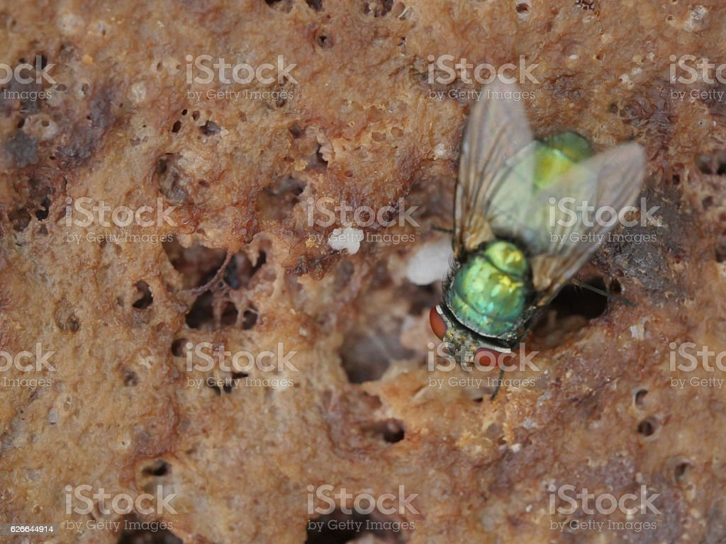 meat fly stock photo