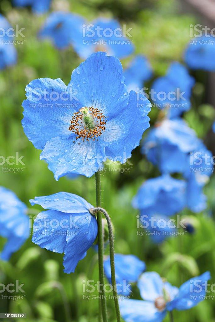 Meconopsis blue poppy stock photo