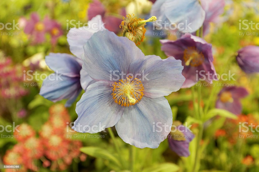 Meconopsis: Himalayan blue poppy stock photo