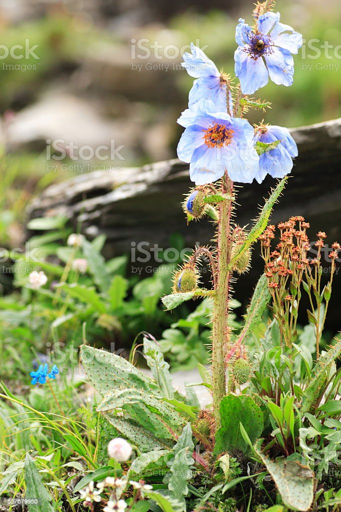 Meconopsis racemosa stock photo
