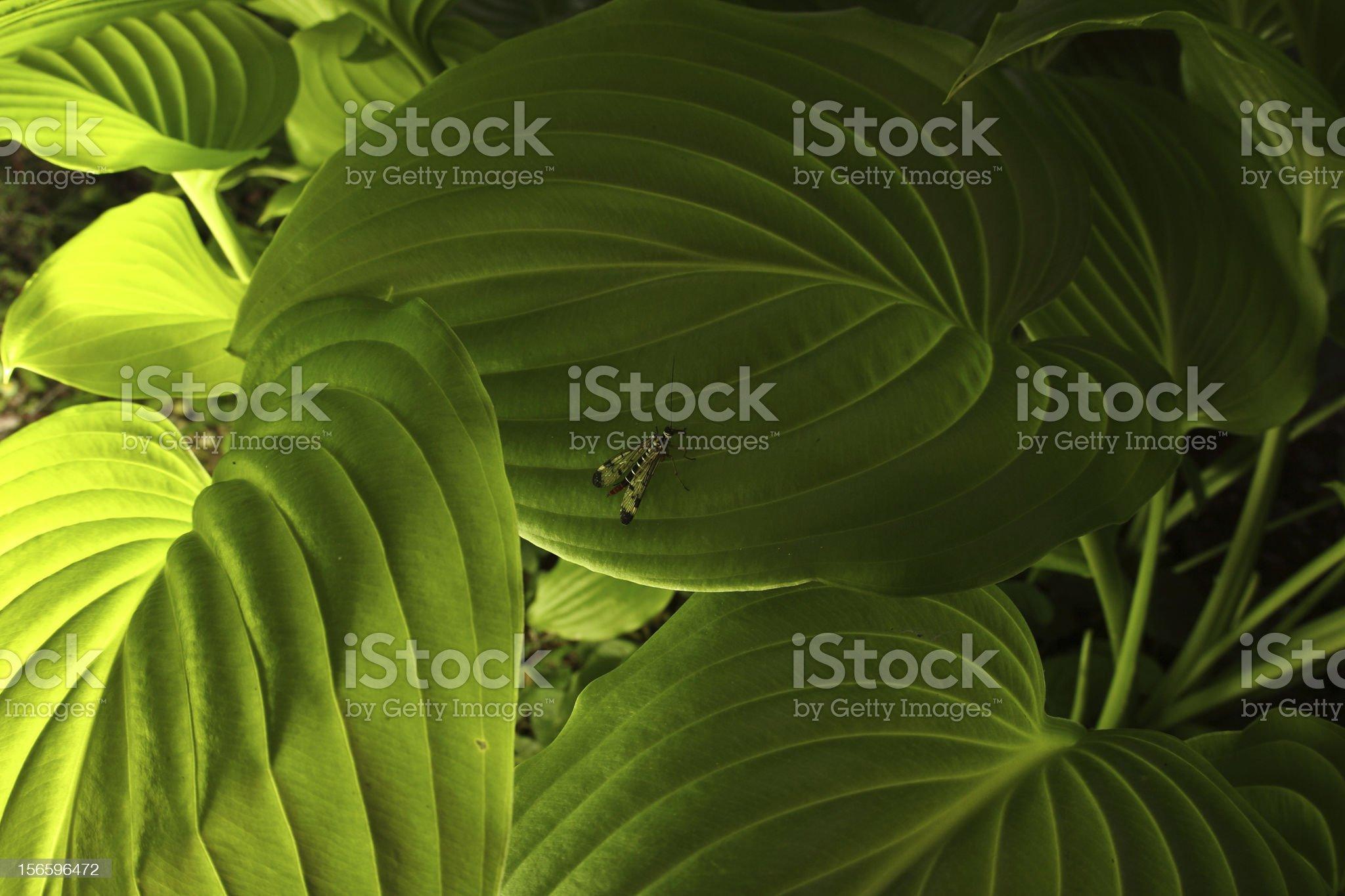 mecoptera royalty-free stock photo