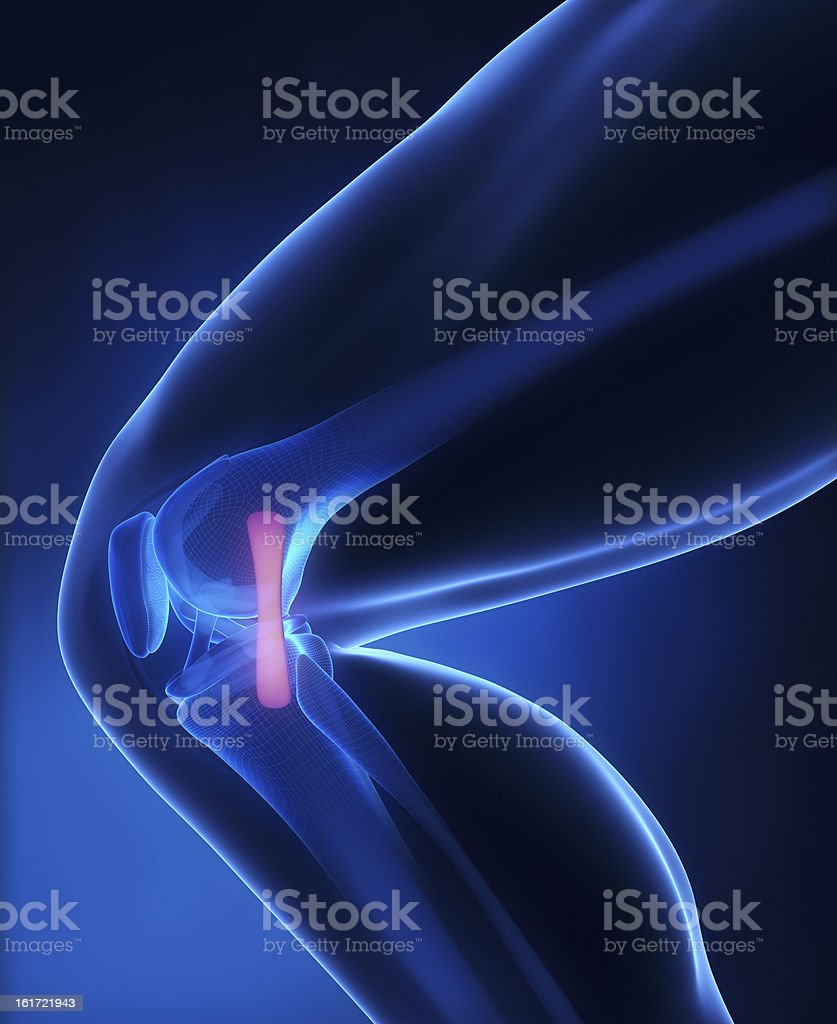 Medial ligament knee anatomy royalty-free stock photo