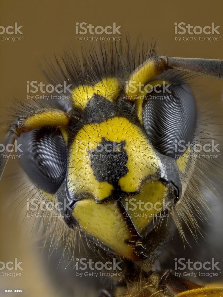 Median wasp (Dolichovespula) portrait royalty-free stock photo