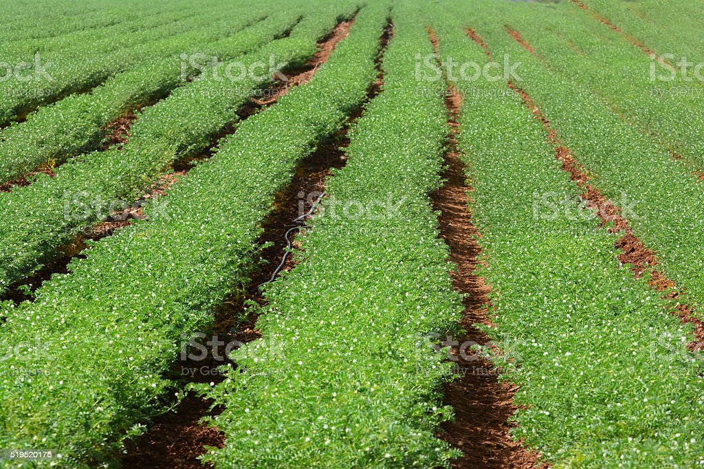 Medicago field stock photo