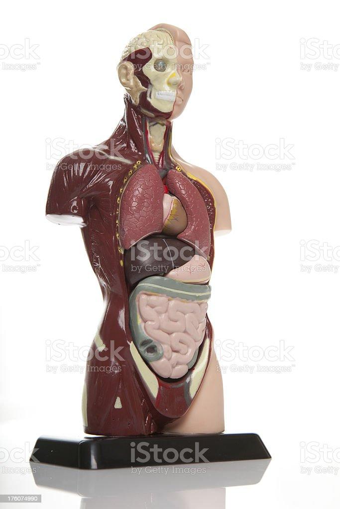 Medical anatomical model. royalty-free stock photo