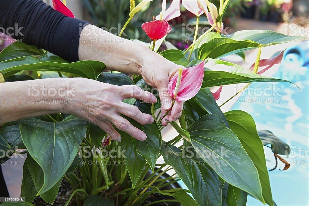 Medical Arthritic hands gardening stock photo