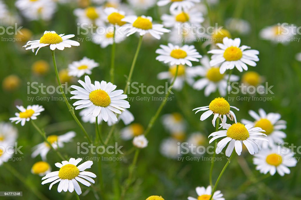 medical daisies stock photo