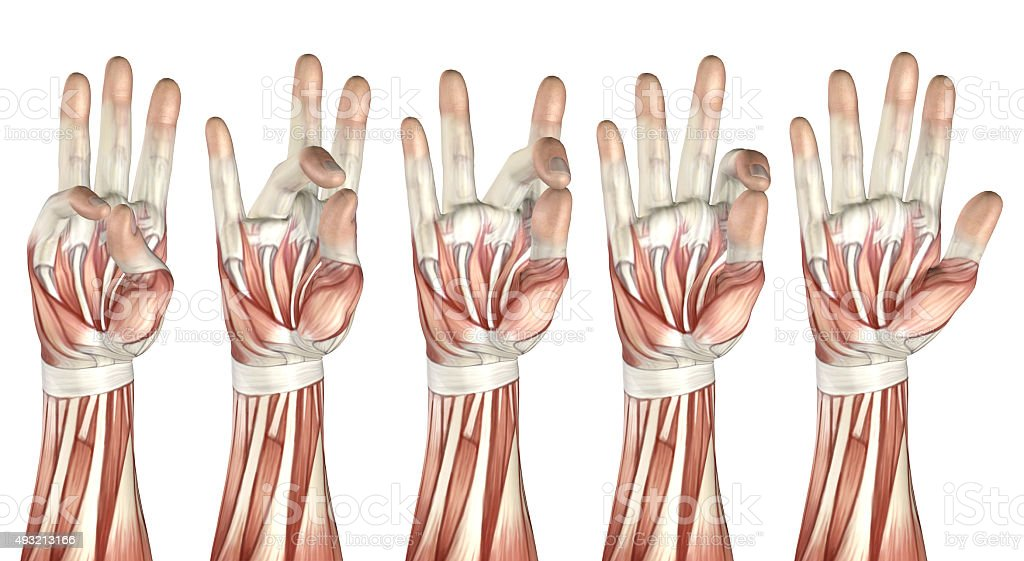 3D medical figure showing thumb touching each finger stock photo