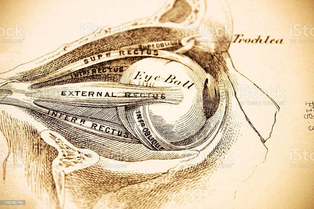Medical Illustration - Eyesocket Profile stock photo