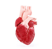 Medical illustration of a human heart