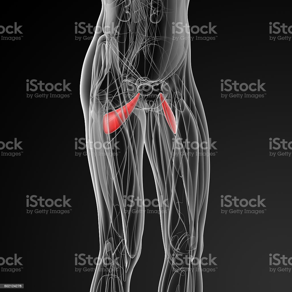 medical  illustration of the abductor brevis stock photo