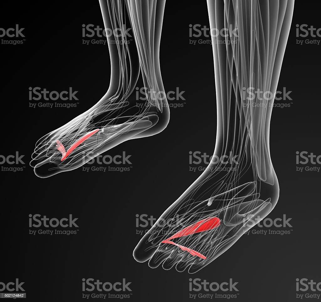 medical  illustration of the Abductor Hallucis stock photo