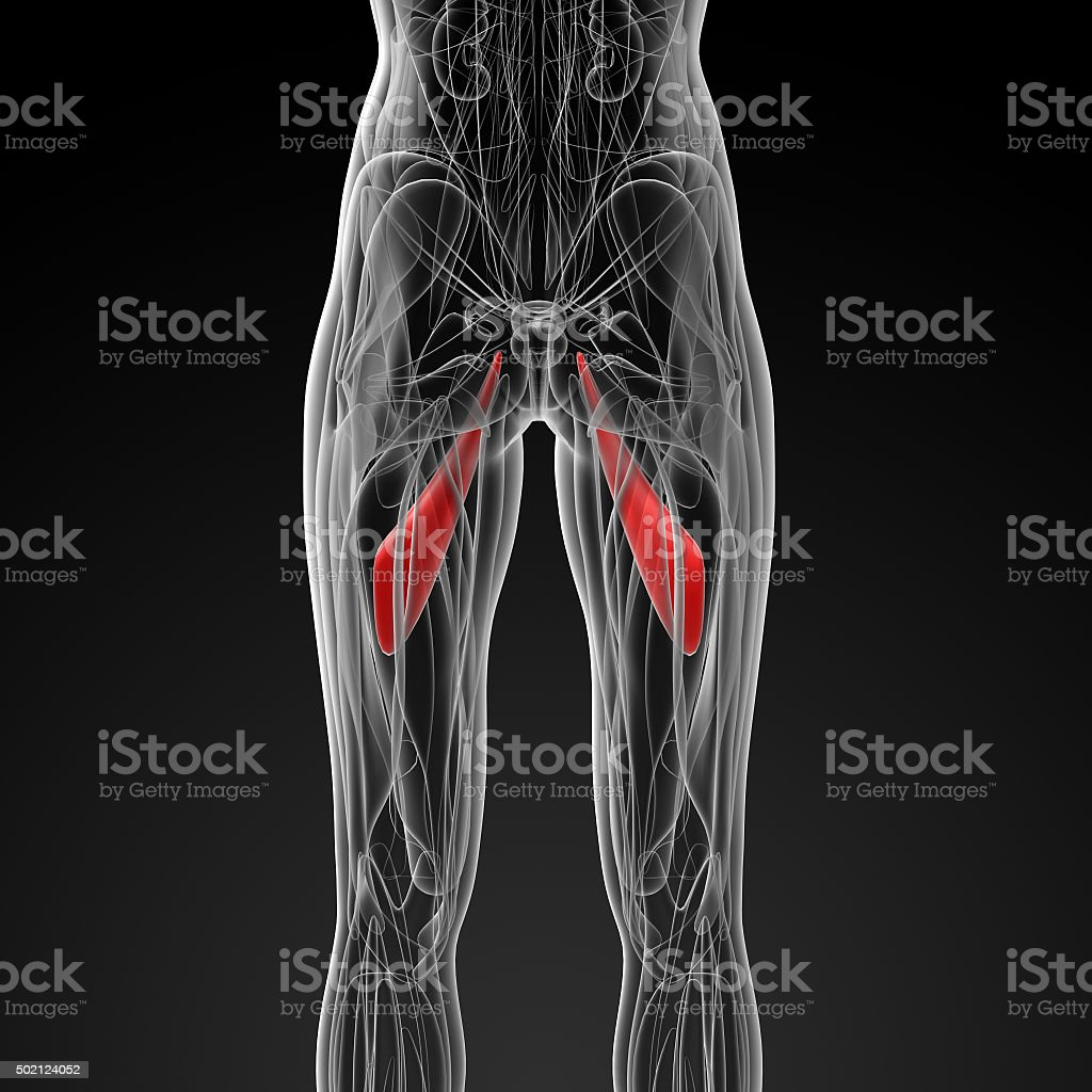 medical  illustration of the abductor longus stock photo