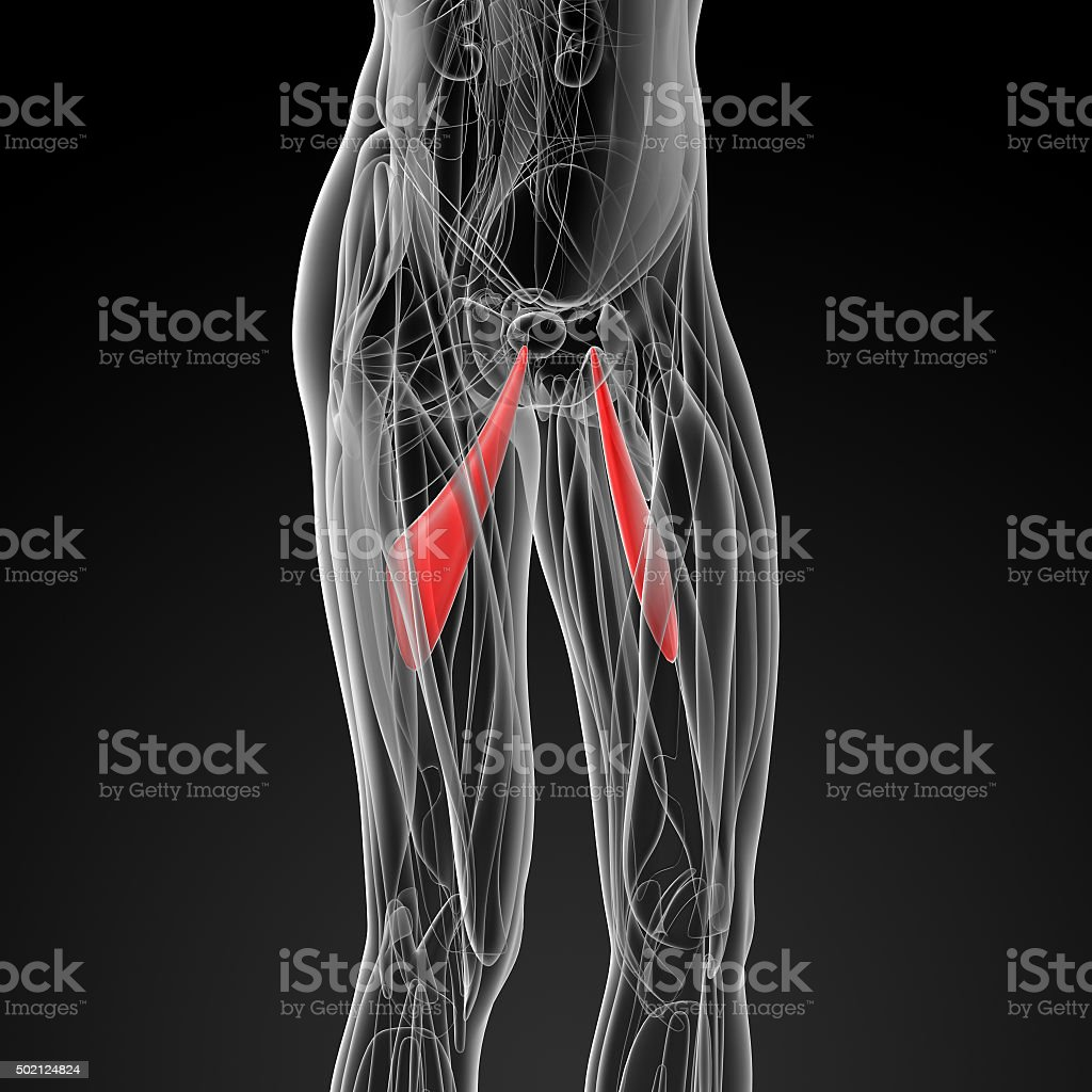 medical  illustration of the abductor longus - side view stock photo