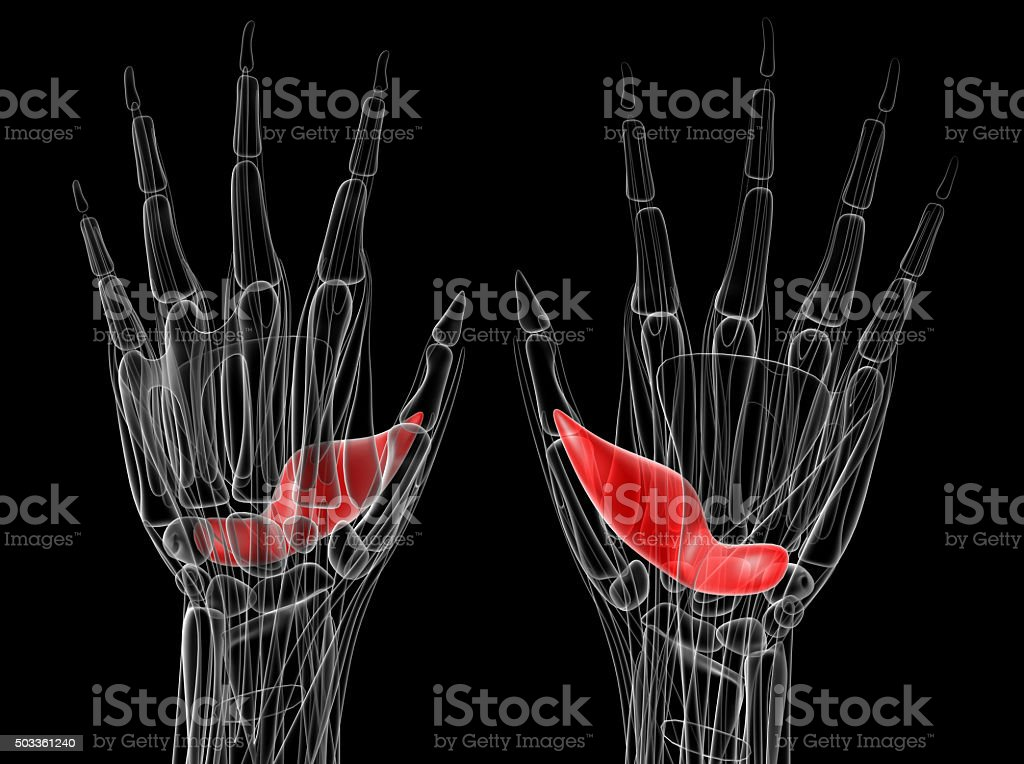medical illustration of the adductor pollicis stock photo