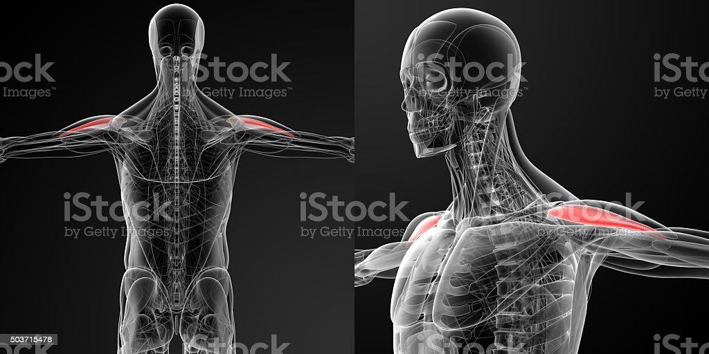 medical illustration of the Anterior Deltoid stock photo